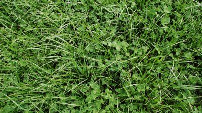 Gras med klover EHS