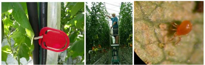 Merk planterekker der det er spinnmidd og stro ut rovmidd i toppen av plantene Foto A Smith Eriksen
